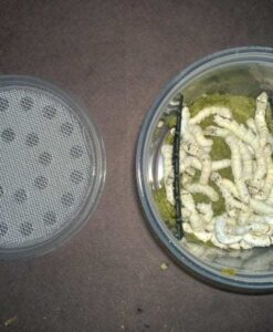 Large Silkworms for Feeder Insects