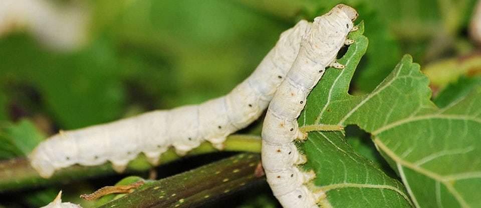 Silkworm Food