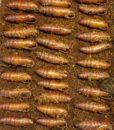 Hornworm Pupae